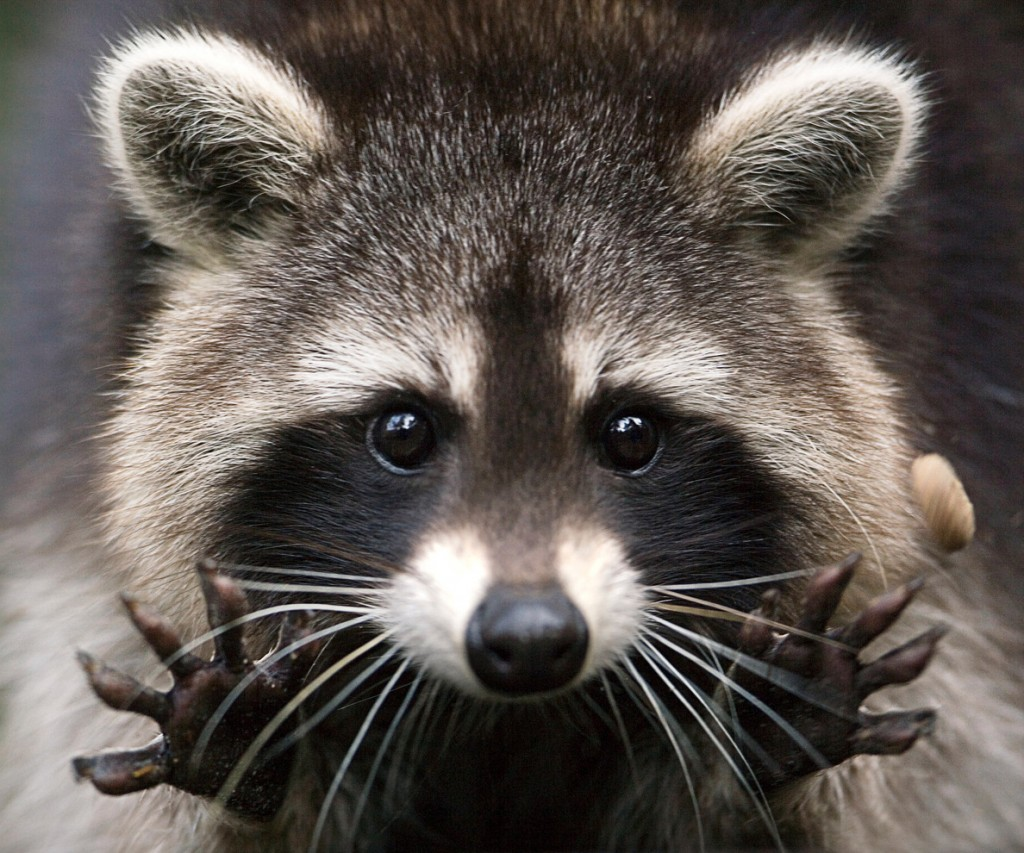 Raccoon-1-1024x853